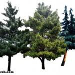 Çam Ağaçlarının Kaç Türü Vardır?