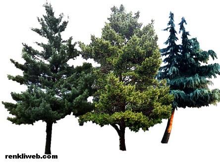 çam, ağaç, bitki