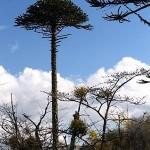 Arokarya ağacının nesli tükendi mi?
