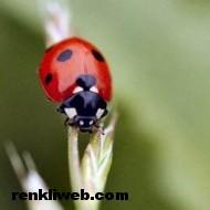 uğur böceği 001