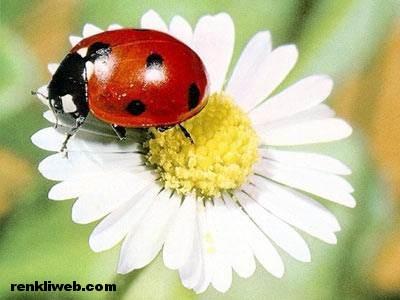 uğur böceği 003