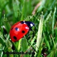 uğur böceği 004