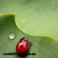 uğur böceği 005