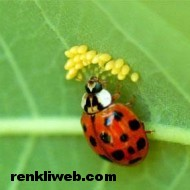 uğur böceği 006