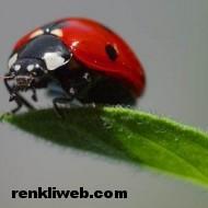 uğur böceği 008