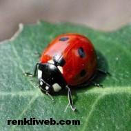 uğur böceği 009