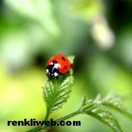 uğur böceği 012