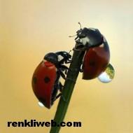 uğur böceği 014