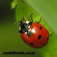 uğur böceği 015