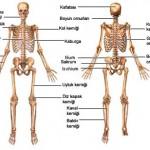 Vücudumuzdaki Kemik Çeşitleri Nelerdir?