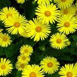 Sarı Çiçek Şekeri Düşürüyor