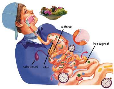 sindirim, besin, sağlık