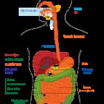 Sindirim sisteminde kaç tane organ vardır?