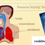 Solunum organlarının sırası nedir?