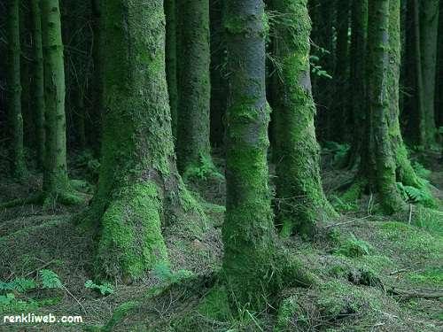 ağaç, yosun