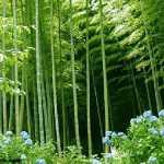 Bambu Ağacı Bakımı Nasıl Yapılır?