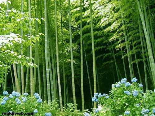 ağaç, bitki, bambu