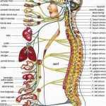 Sinir Sistemi Kaça Ayrılır?