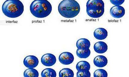 Mayozun canlının hangi hücrelerinde meydana geldiğini ve canlılar için önemi nedir?