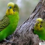Muhabbet Kuşlarının Hayatı ve Özellikleri