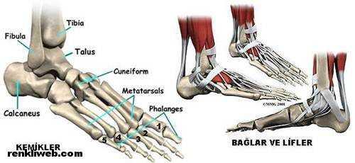 ayak kemikleri