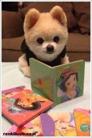 dünyanın en güzel köpeği Shunsuke 002