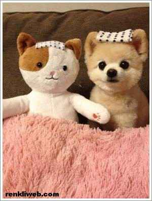 dünyanın en güzel köpeği Shunsuke 005