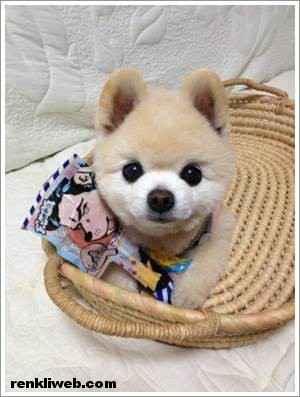 dünyanın en güzel köpeği Shunsuke 007