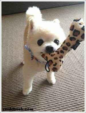 dünyanın en güzel köpeği Shunsuke 008