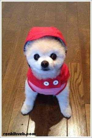 dünyanın en güzel köpeği Shunsuke 009