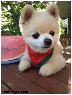 dünyanın en güzel köpeği Shunsuke 012