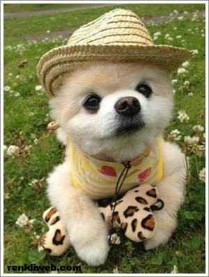 dünyanın en güzel köpeği Shunsuke 013