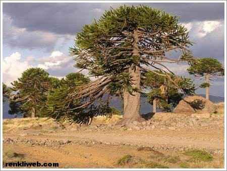 Arakorya ağacı