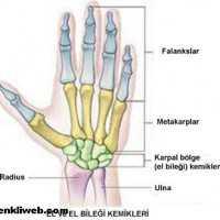Kısa Kemik Nedir? Kısa Kemikler Nelerdir? (Resimli)