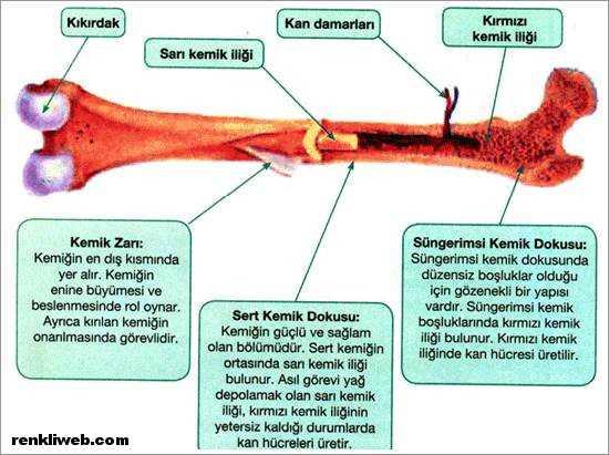 uzun kemik