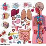 Vücut Sistemleri ve Görevleri (Özet Konu Anlatımı)