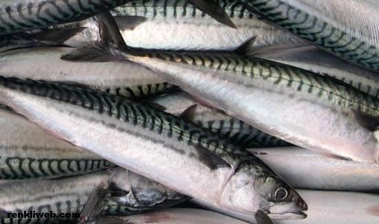 uskumru balık