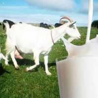 Keçi Sütü Mü İnek Sütü Mü Daha Faydalı?