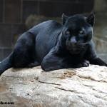 Jaguar'ın Hayatı, Özellikleri ve Yaşamı