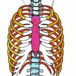 Kaburga Kemiklerinin Görevleri Nelerdir?