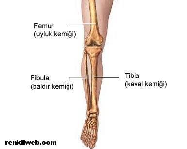 bacak kemikleri