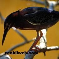 kuş resimleri 014