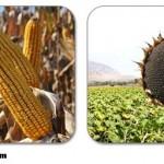 Marmara Bölgesinde Üretilen Mısır ve Ayçiçek Miktarı Nedir?