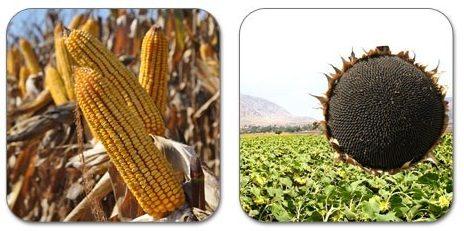 mısır, ayçiçek, tarım