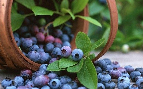 yaban mersini, meyve, sağlık