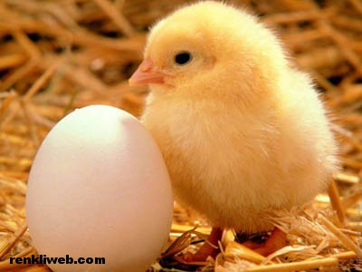 yumurta, tavuk, hayvanlar, yemek